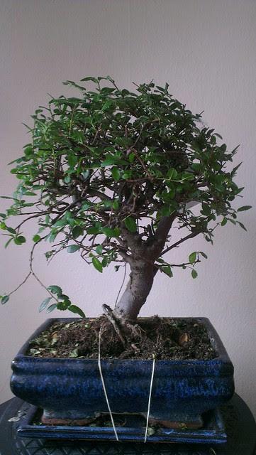 Bonsai Tree Soil Homebase Bonsai Tree