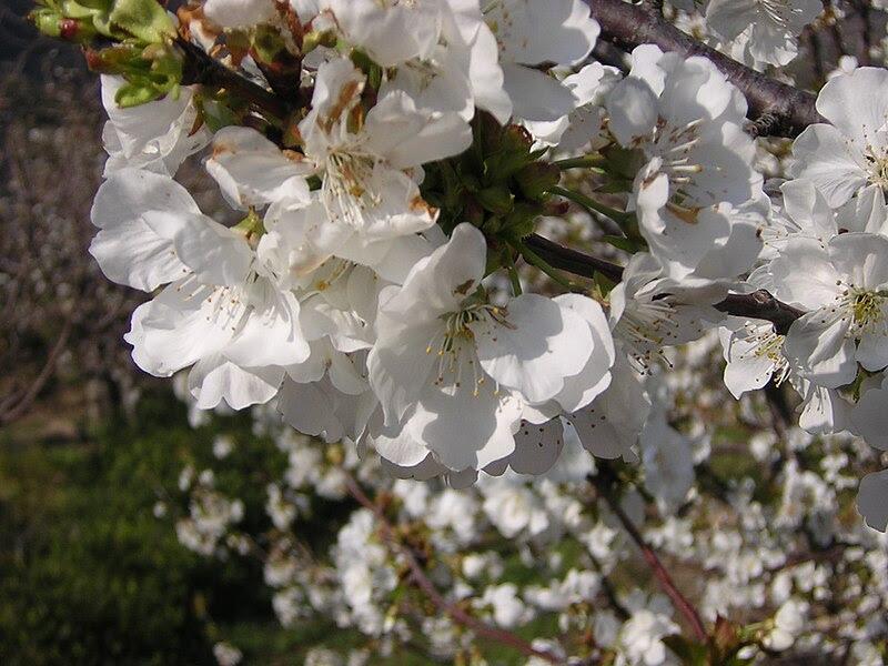 Archivo:Cerezo en flor. El Torno.jpg