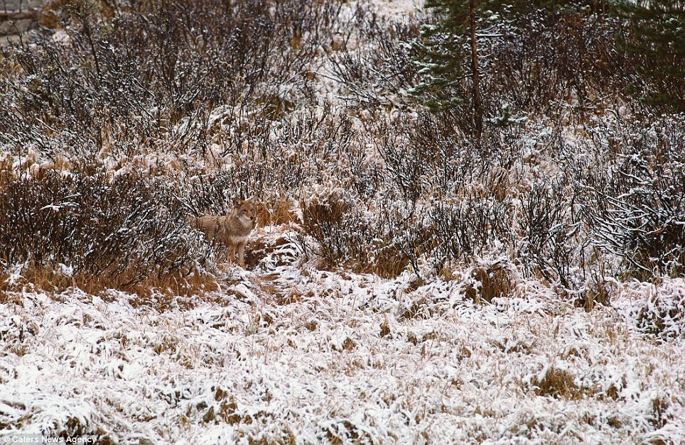 Snow way I'll be spotted here: A coyote camouflaged in the surrounding brush at the edge of a snow dusted field, Washington State, USA