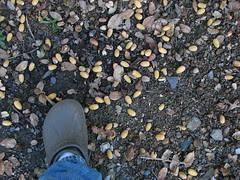 acorns o' plenty
