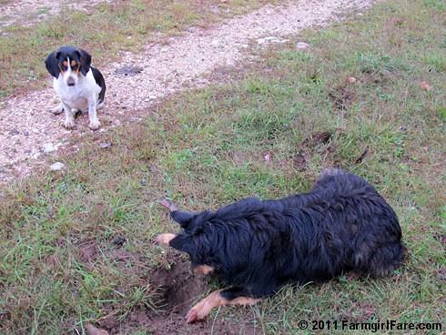 Bear on the mole patrol with bored beagle and sheep backup 3 FarmgirlFare.com