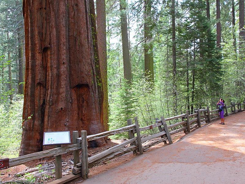 IMG_3550 Tuolumne Grove of Giant Sequoias
