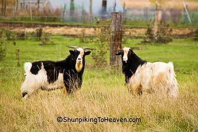 Goats in the Pasture, Shawano County, Wisconsin