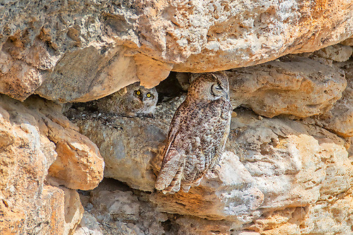 Great Horned Owls on Nest, Montezuma Well, Arizona