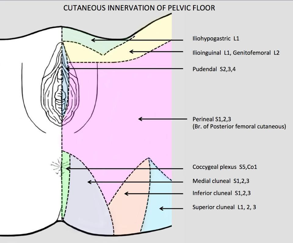 Pudendal Nerve - Stepwards