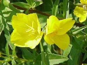 An evening-primrose flower, showing the cross-...