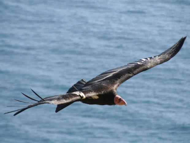 Condor-da-Califórnia é uma das maiores aves do mundo. (Foto: Cortesia/Joe Burnett )