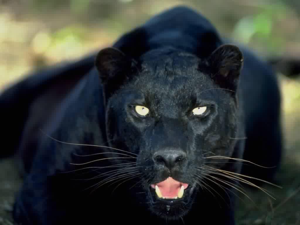 Resultado de imagen para black pantera
