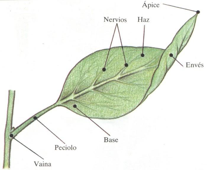 Morfologia En Plantas Superiores Hojas