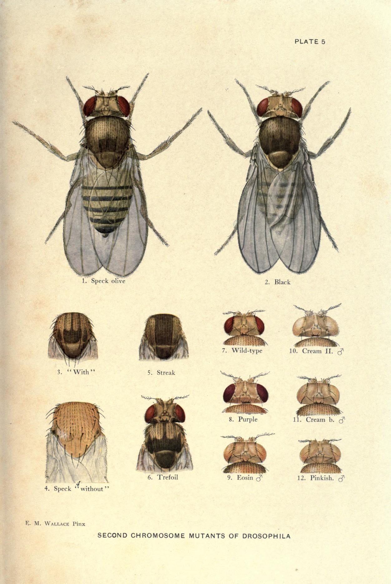 Contribución a la genética de Drosophila melanogaster (1919)