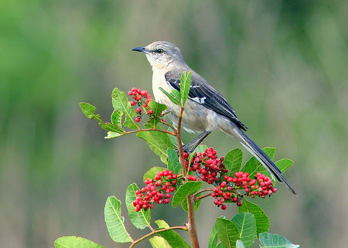 Northern Mockingbird 20090207