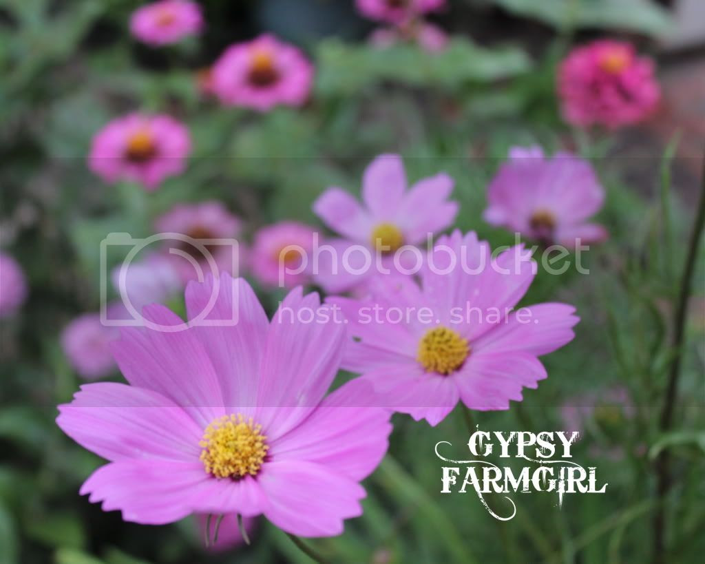 pink cosmos and zinnias