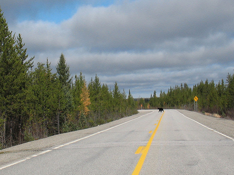 File:Black Bear crossing the James Bay Road.jpg