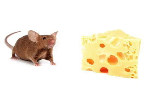 Why Do Mice Love Cheese?   Wonderopolis