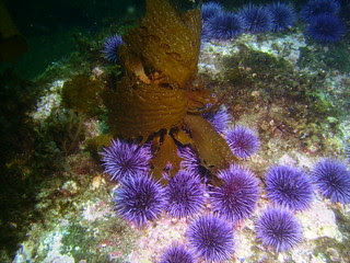 Urchins and Kelp