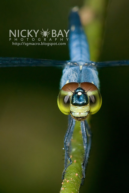Dragonfly (Anisoptera) - DSC_9976