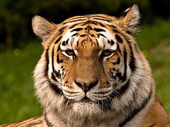 Siberian Tiger Français : Tigre de sibérie Ita...