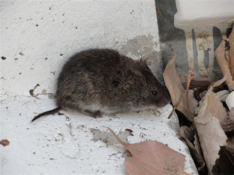 Image Gallery Short tailed Rat