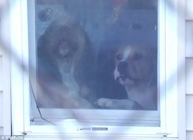 Two of the three pit bulls who attacked Charlotte Carter peer out of the window of the home where they are being kept in quarantine