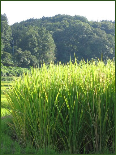 01 rice in sunshine