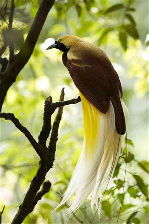 gambar wallpaper burung cendrawasih eksotis