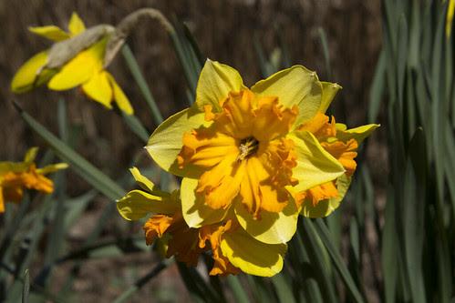 Daffodil by bahayla