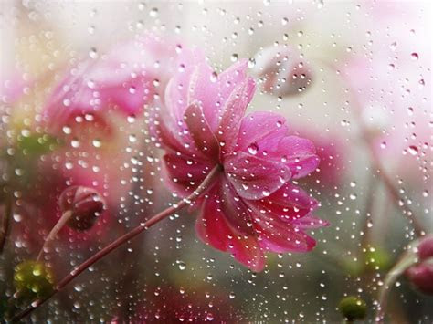 falling rain  flower flowers   rain