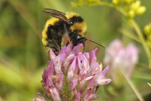 Bumblebee on red clover (3)