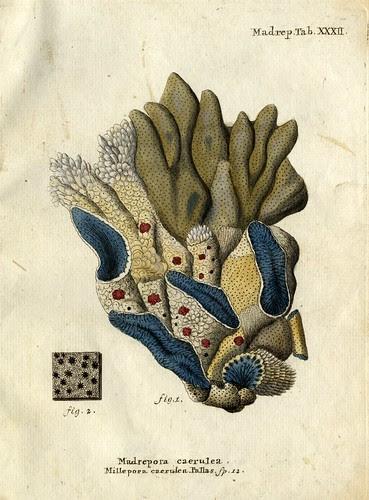 Madrepora caerulea