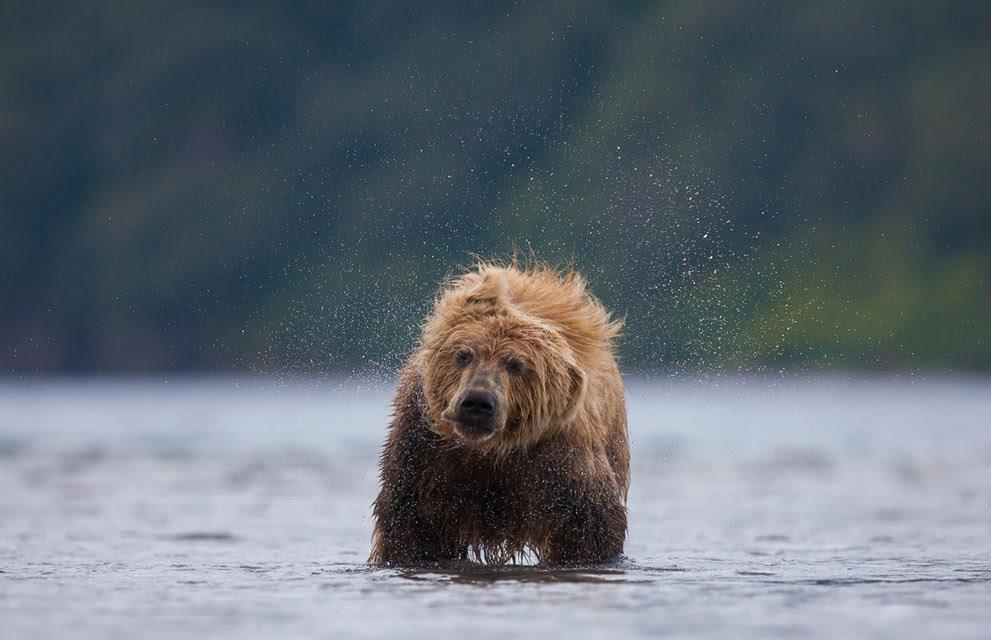 Μια καφέ αρκούδα τινάζει την υγρή γούνα της Καμτσάτκα, Ρωσία. (© Robert Pfaffenbauer / National Geographic Photo Contest ) #