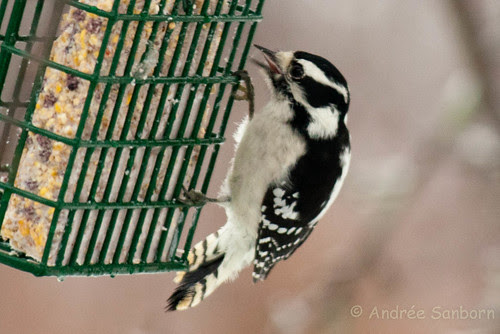 Downy Woodpecker -5.jpg