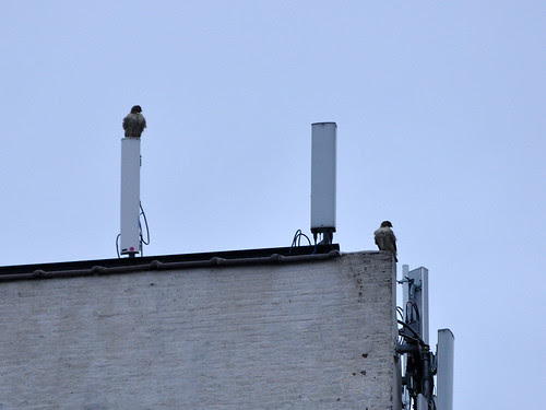 Red-Tails on 107th St.