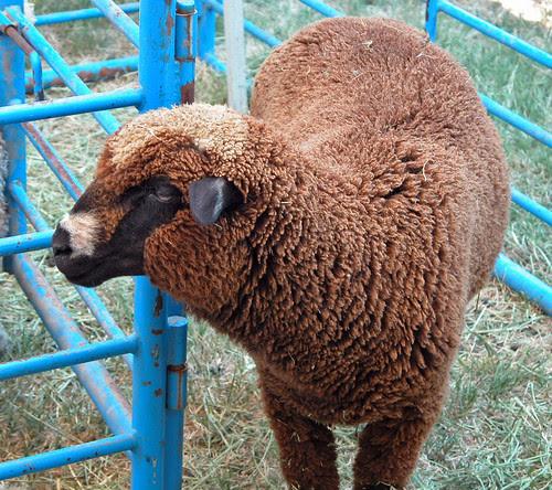 Chocolate sheep