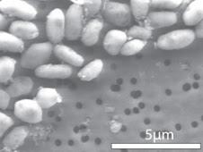 GFAJ-1 grown on arsenic