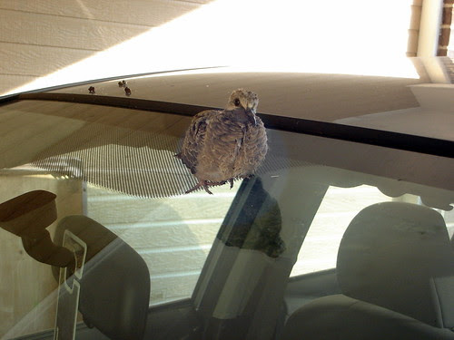 Baby Bird on the Car