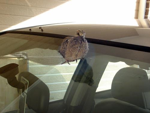 Baby Bird on the Car