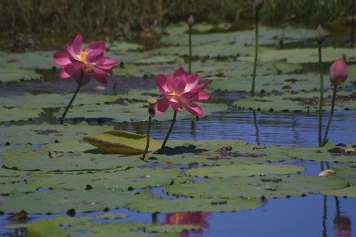 Lotus Flowers Fogg Dam