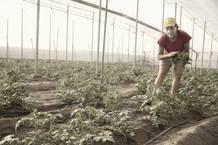Inmaculada Idáñez en su invernadero de tomates en Almería.