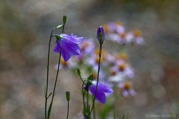 bellflowers, Yellowstone National Park