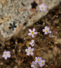 flax-flowered linanthus - linanthus liniflorus