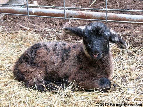 Ewe Lamb Portraits 3