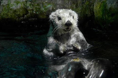 Otter at Osaka Aquarium Kaiyukan
