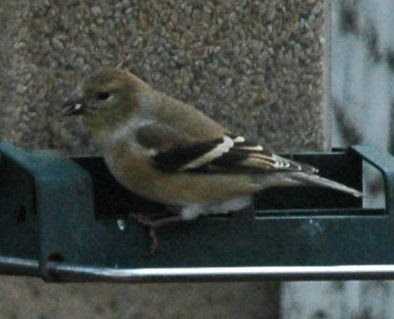 American Goldfinch, Cardulis tristis, in winter plumage