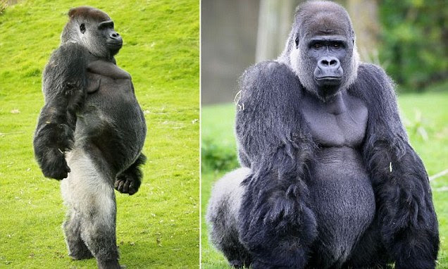 Ambam has perfected balancing on his two hind legs at Port Lympne wild animal park near Hythe, Kent