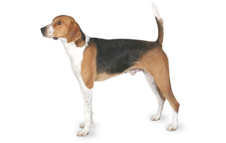 American Foxhound Dog Breed Information, Pictures, Characteristics  Facts  Dogtime