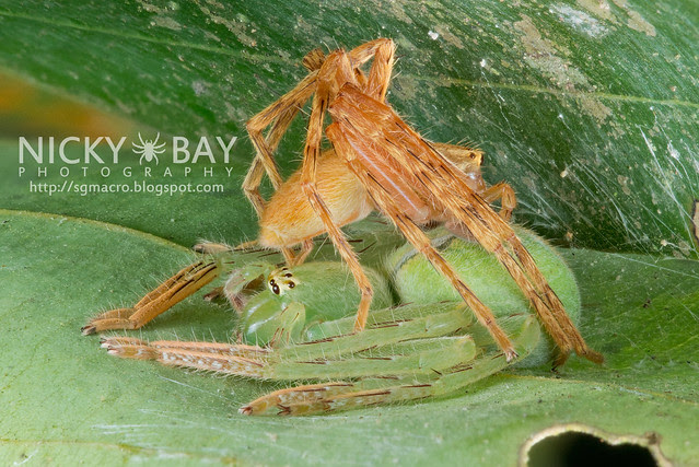 Huntsman Spiders (Sparassidae) - DSC_3636