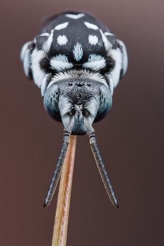 blue bee Thyreus sp. IMG_9640 copy