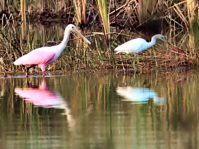 Spoonbill and Little Blue Heron 20121205