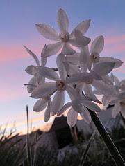 Paperwhite narcissus at sunrise