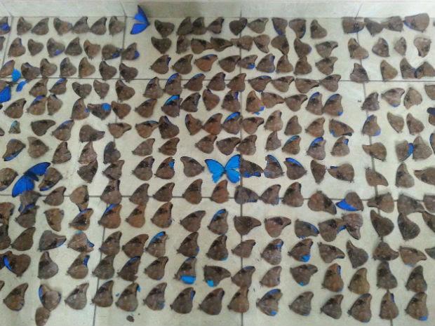 Polícia Ambiental deteve três pessoas com mais de 1,1 mil borboletas mortas (Foto: Divulgação/Polícia Ambiental)